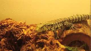 Argentine Black and White Tegu Care Video pt 1 [Repidemic]