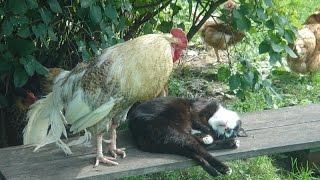 Деревенские коты . Смешные кошки.