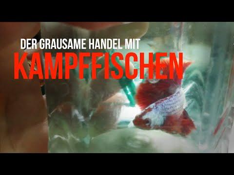 Aufgedeckt: Der Grausame Handel Mit Kampffischen