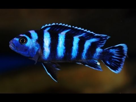 How To Look After Demasoni - Pseudotropheus Demasoni ...