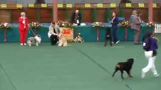 Rottweiler @ The Welsh Kennel Club