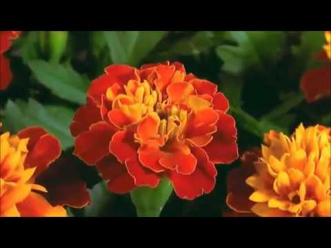 Exotic flowers dancing time lapse _ Most beautiful blooming