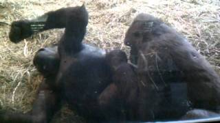 Gorillas making love at the Woodland park zoo