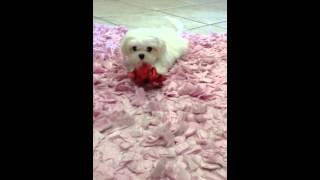 Tiny Shih Tzu Puppy Yorkiebabies.com
