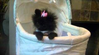 Baby Glory ~ Micro Teacup Black Pomeranian Boutique Teacup Puppies