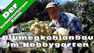 Blumenkohlanbau im Hobbygarten