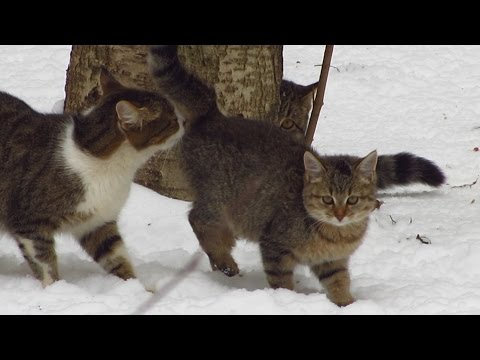 Kitten with mother cat and father walking on the snow