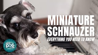 Miniature Schnauzer Dog Breed Information | Dogs 101  Miniature Schnauzer Puppies to Adults