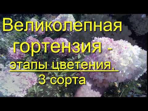 Гортензия Великолепная для начинающих и опытных садоводов Vanille Fraise Фантом hydrangea