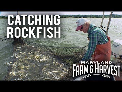 How To Catch Fish In A Pound Net | Maryland Farm & Harvest