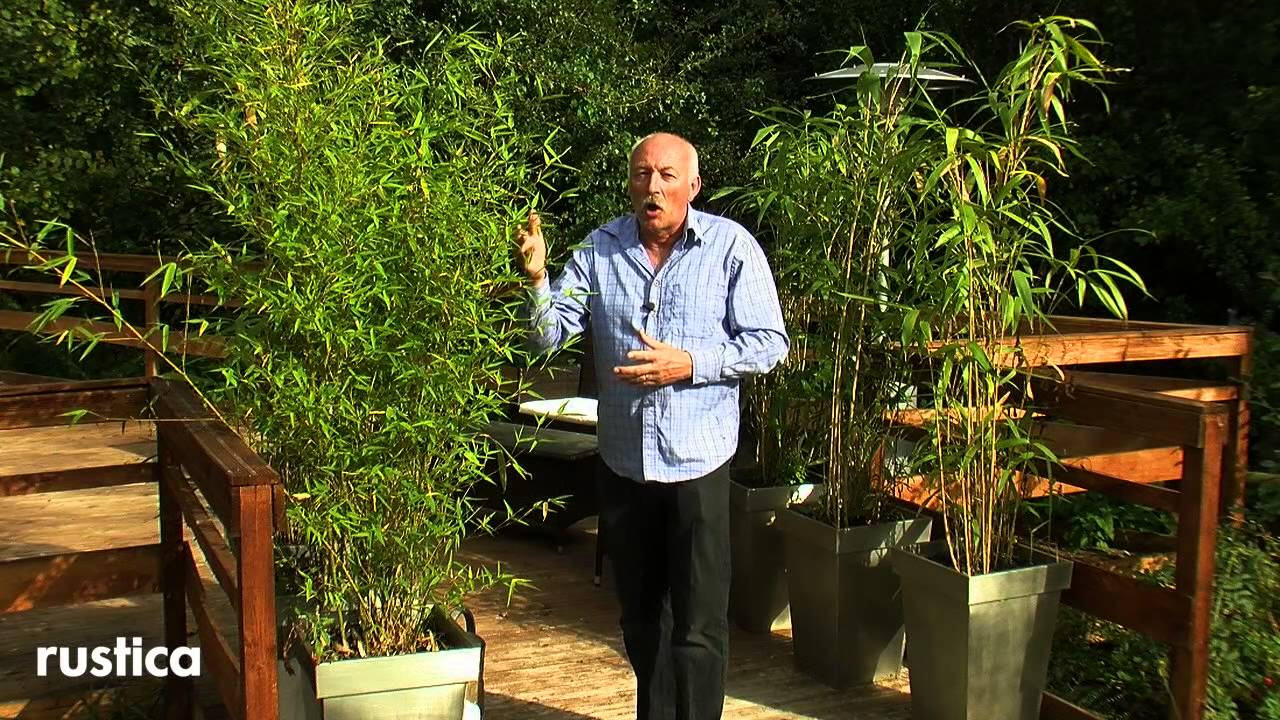 Bambou fargesia entretien