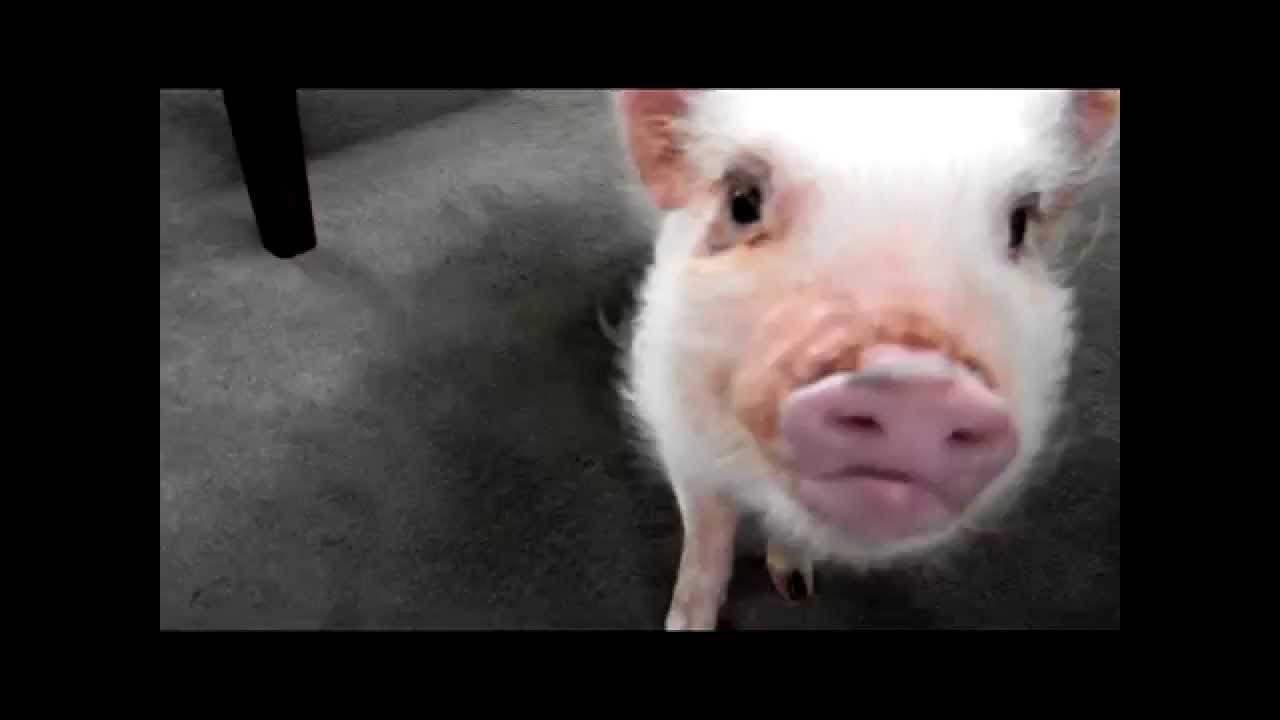 Mini Pig Oinking Sounds - YouTube