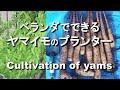 ヤマイモのプランター栽培 ベランダでもできる の動画、YouTube動画。