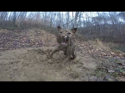 i-caught-another-bobcat!