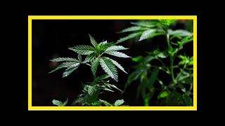 Breaking News | Pain medicine group cancels doctor training about marijuana