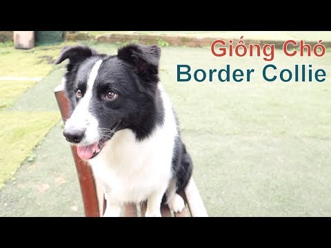 Border Collie - Giống Chó Thông Minh TOP Đầu Thế Giới/ NhamTuatTV - Dog in Vietnam