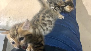 HAND RAISING BENGAL KITTENS 😻Tigger and Loki are now eating by themselves 😻I'm a proud Mumma😻