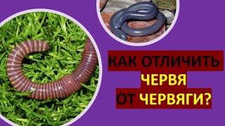 12. Как отличить червя от червяги?