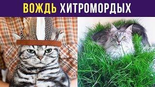 Приколы с котами. Вождь Хитромордых   Мемозг #69