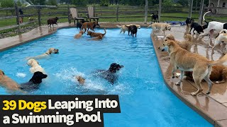 Adorable video shows 39 puppies leaping into a swimming pool