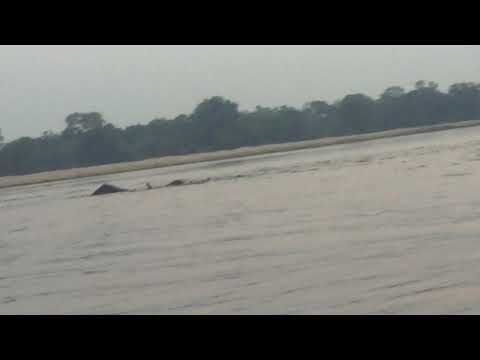 Swimming elephants Lower Zambezi Mvuu Lodge part 2