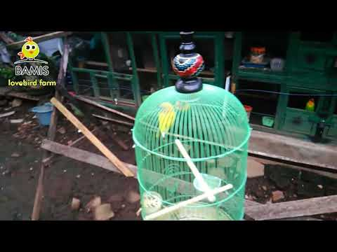 Lovebird Ready to enter the cage again if the conditions are like this ||