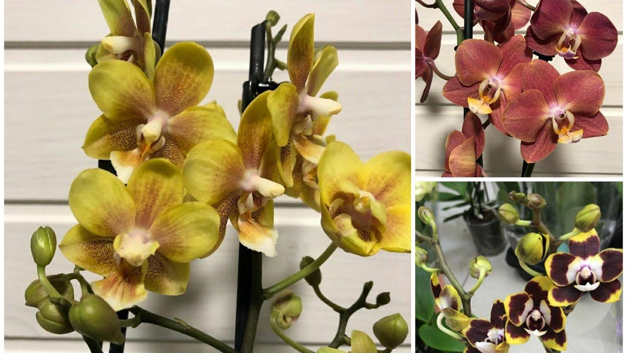 Посылки с Новыми Орхидеями | Phal. Horizon | Phal. Yellow Chocolate | Phal. Plug - воск мультифлора