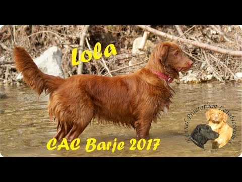Nova Scotia Duck Tolling Retriever Lola on CAC Bare 2017