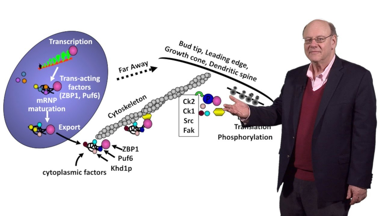 Robert Singer (Einstein) 3: Imaging Translation and Degradation of Single  mRNAs in Living Cells
