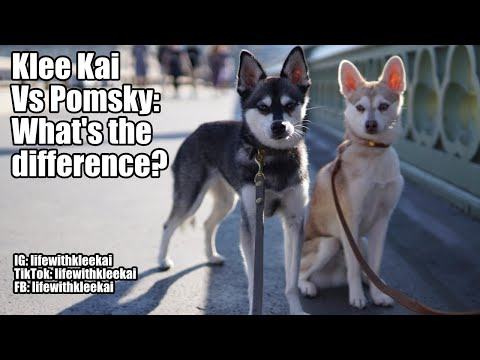 Alaskan Klee Kai vs Pomsky: What's the difference?