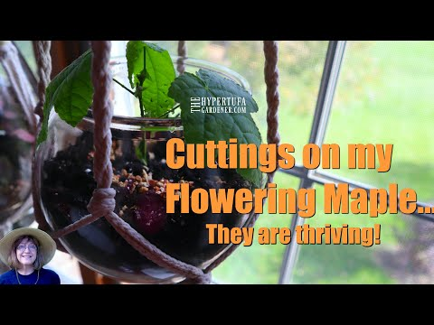 How Did My Cuttings For My Flowering Maple Do? WONDERFUL! Soil Was Best!
