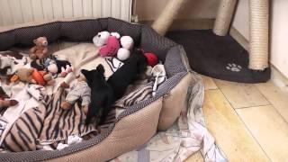 Mini Yorkshire Terrier Welpen, 7 Wochen Alt