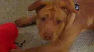 Payton Pitbull/shar Pei Mix (2)