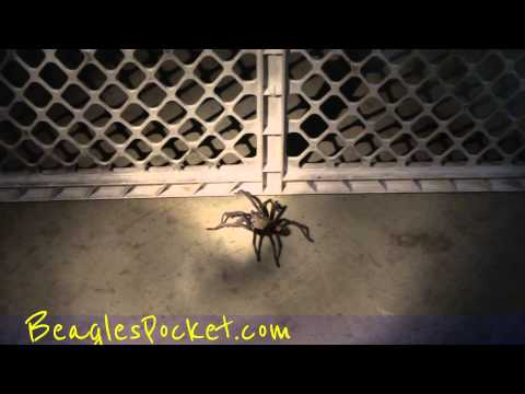 Tarantula Spider Hairy Arachnid Creepy Crawler Huge