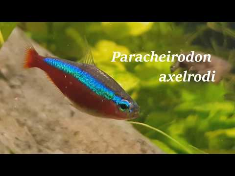 Cardinal Tetra Care Guide / Keeping And Breeding / Paracheirodon Axelrodi / All You Need To Know