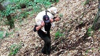 Парень нашел в ручье старого слепого лабрадора и спас его неся на своих плечах!