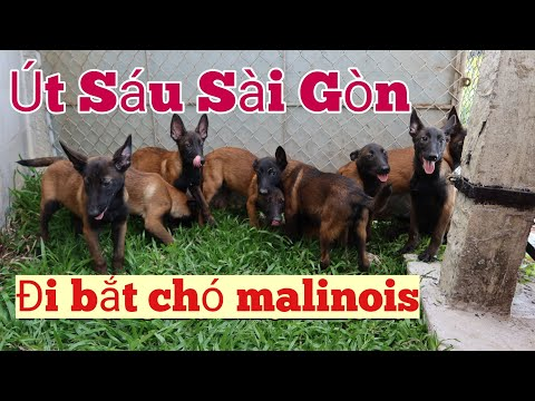 Út Sáu Sài Gòn đi bắt chó Malinois Becgie Bỉ Miền Tây 0766778880