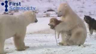 Белые медведи и собаки - дружба возможна?(Удивительно трогательные отношения между полярными медведями и собаками. Как возможны подобные отношения..., 2015-04-14T08:12:37.000Z)
