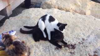 Chinese Massage Cat with Happy Ending Hilarious!