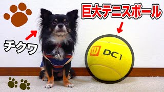 【爆笑】チクワに巨大テニスボールをあげたら遊んでくれると思ったのに…。