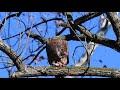 Eagle eating a bird