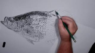 Crappie Drawing