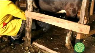 Cows Health treat mastitis