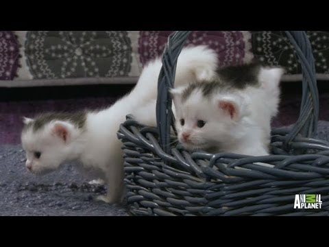 Thumbnail for Cat Video A Basket Full of Kittens | Too Cute!