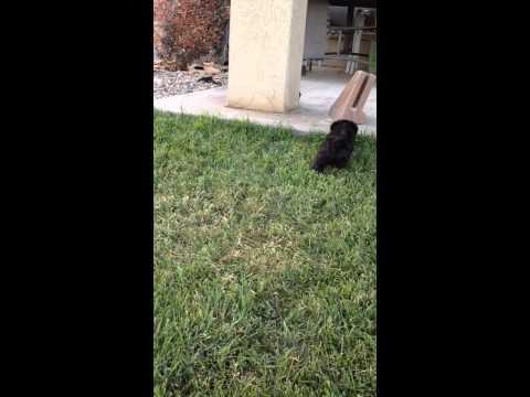 Scottiepoo puppies