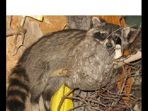 Raccoon Quot Putting Up Your Fur Quot Trap Skin Flesh Stretch Dry Youtube