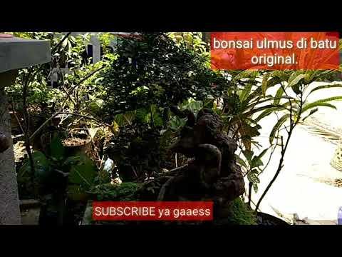 bonsai-ulmus-rock-n-roll-di-batu-original
