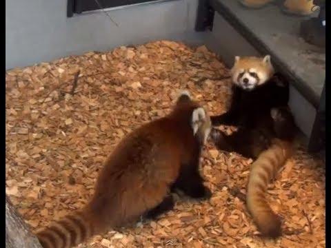 レッサーパンダ。ケンカをしてビックリ!「Full HD」Red Panda! I\u0027m surprised a fight.