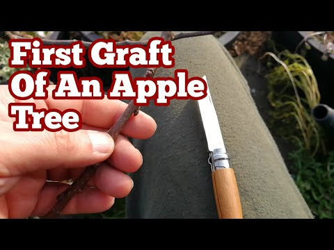 Grafting Apple Variety Discovery On MM106 Rootstock