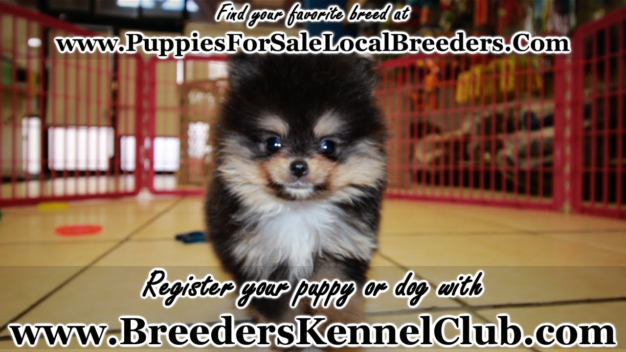 pomeranian georgia teacup black and tan pomeranian puppies for sale georgia 8421